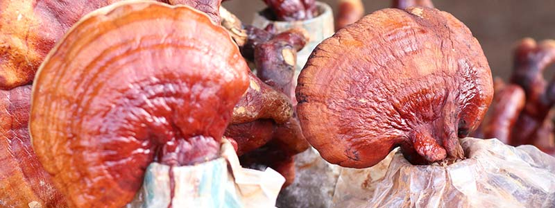 Photo of reishi mushrooms being cultivated