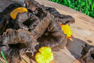 5 Things You Should Know About Black Trumpet Mushroom | ultimatemedicinalmushrooms.com