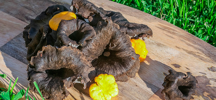 5 Things You Should Know About Black Trumpet Mushroom   ultimatemedicinalmushrooms.com