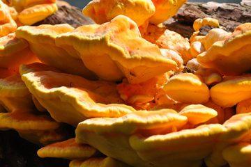 Chicken of the Woods Mushroom | Ultimate Medicinal Mushrooms