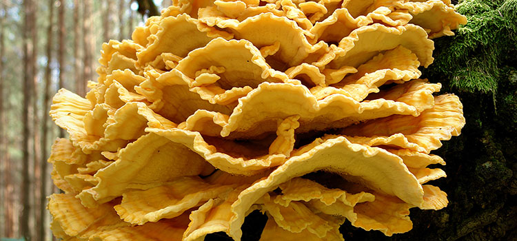 4 Chicken of the Woods Nutrition Facts   ultimate medicinal mushrooms
