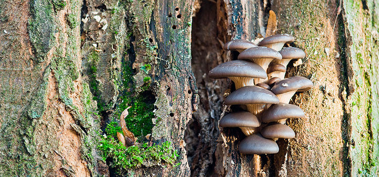 8 Tips to Become an Expert at Oyster Mushrooms Identification | ultimatemedicinalmushrooms.com