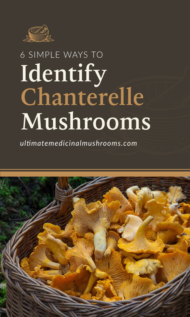 """Text area which says """"6 Simple Ways to Identify Chanterelle Mushrooms , ultimatemedicinalmushrooms.com"""" followed by a photo of a bunch of chanterelle mushrooms on a basket"""
