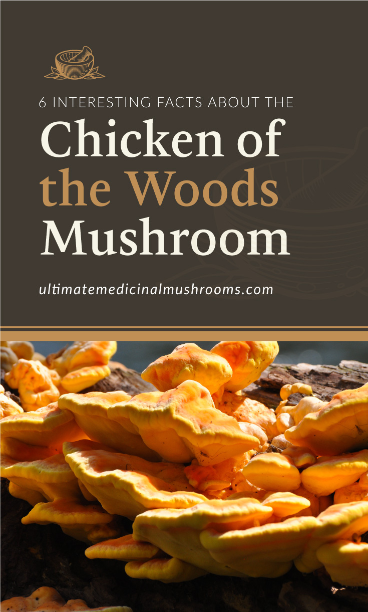 """Text area which says """"6 Interesting Facts About the Chicken of the Woods Mushroom, ultimatemedicinalmushrooms.com"""" followed by a photo of a cluster of chicken of the woods mushrooms"""