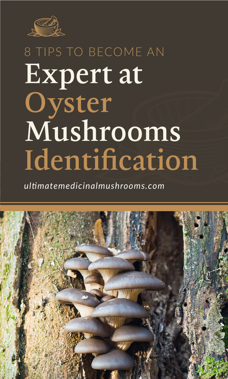 """Text area which says """"8 Tips to Become an Expert at Oyster Mushrooms Identification, ultimatemedicinalmushrooms.com"""" followed by a photo of oyster mushrooms growing on a tree trunk"""