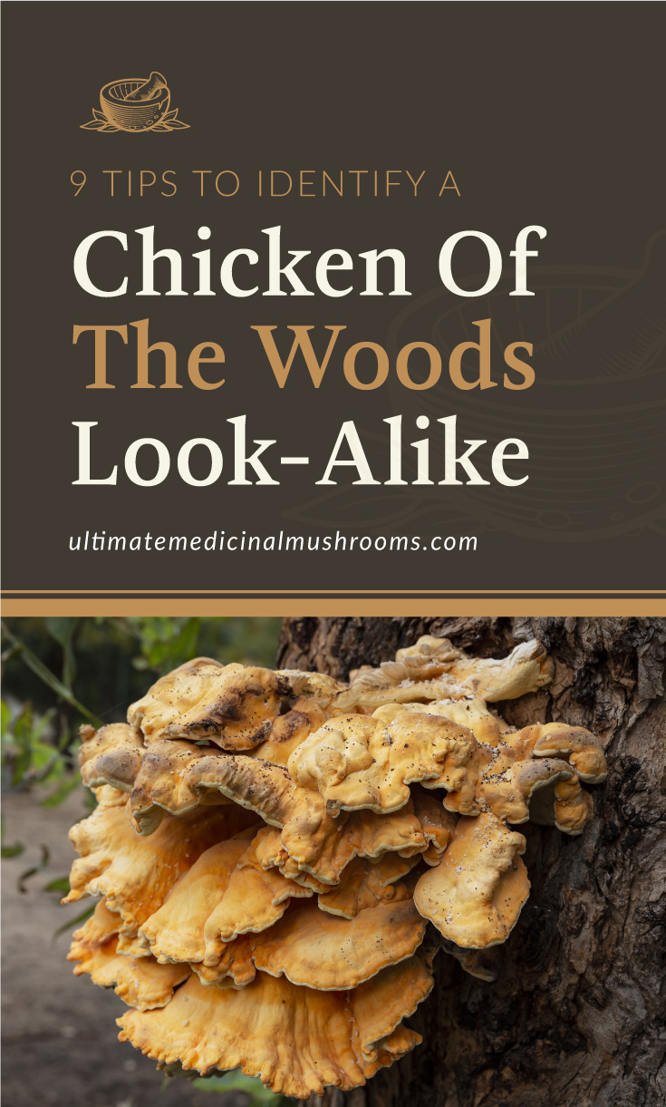 """Text area which says """"9 Tips To Identify A Chicken of The Woods Look Alike, ultimatemedicinalmushrooms.com"""" followed by a picture of chicken of the woods mushroom growing out from a tree trunk"""
