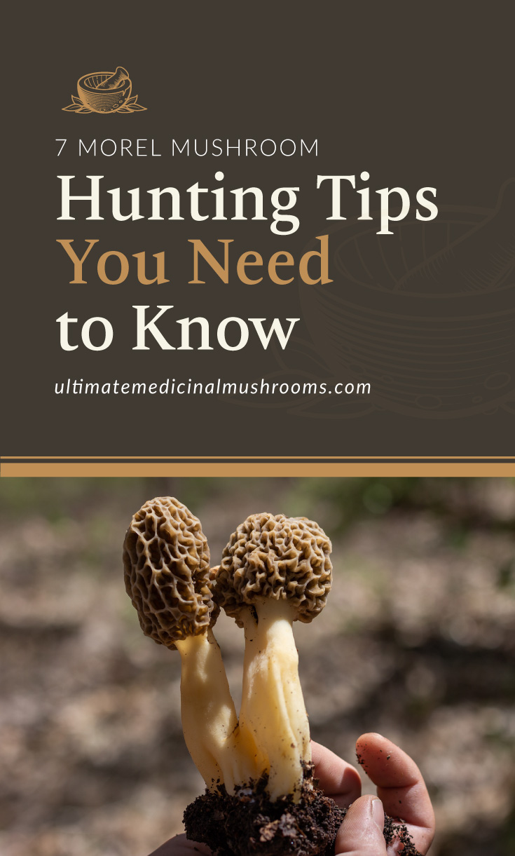 """Text area which says """"7 Morel Mushroom Hunting Tips You Need to Know, ultimatemedicinalmushrooms.com"""" followed by a photo of morel mushrooms"""