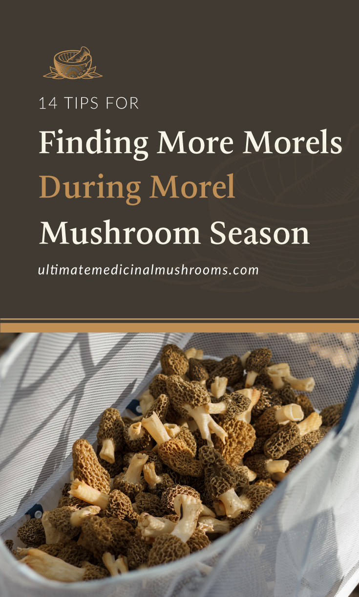 """Text area which says """"14 Tips for Finding More Morels During Morel Mushroom Season , ultimatemedicinalmushrooms.com"""" followed by a photo of a bunch of morel mushrooms in a basket"""