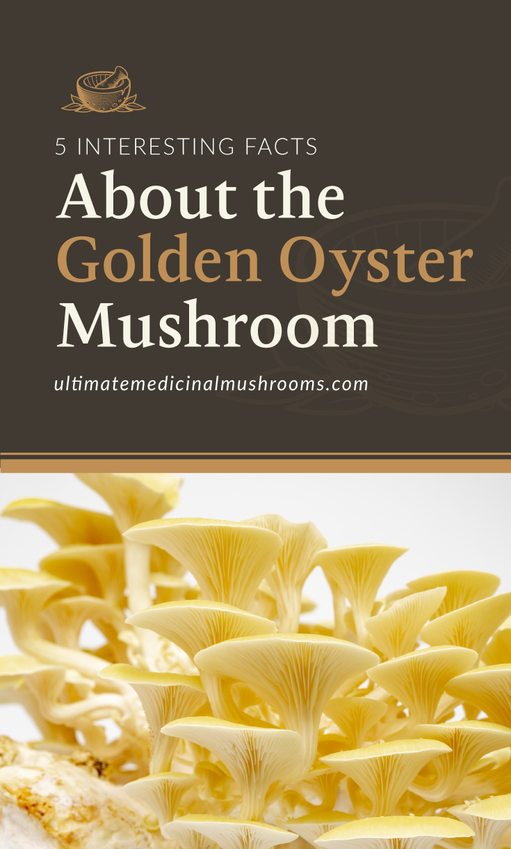 """Text area which says """"5 Interesting Facts About the Golden Oyster Mushroom, ultimatemedicinalmushrooms.com"""" followed by a photo of golden oyster mushrooms"""