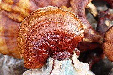 reishi mushroom | Ultimate Medicinal Mushroom