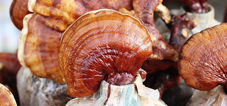 reishi mushroom   Ultimate Medicinal Mushroom