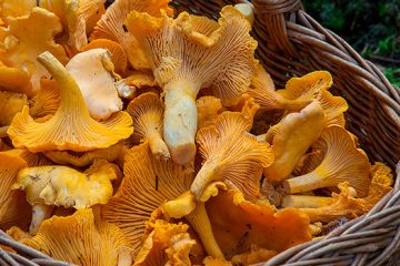 6 Simple Ways to Identify Chanterelle Mushrooms   ultimatemedicinalmushrooms.com