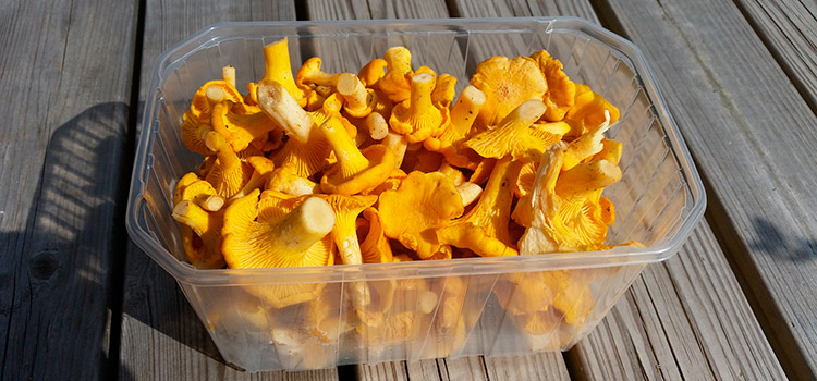 How To Prepare and Cook Chanterelle Mushrooms For Delicious Results | ultimatemedicinalmushrooms.com