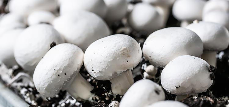10 Edible Mushroom Types Grown Commercially | ultimatemedicinalmushrooms.com