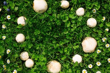 4 Interesting Facts About Fairy Rings   ultimatemedicinalmushrooms.com