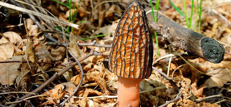 7 Amazing Health Benefits of Morel Mushrooms | ultimatemedicinamushrooms.com