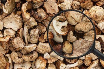 8 Ways to Help You Understand Mushroom Genus   ultimatemedicinalmushrooms.com