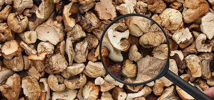 8 Ways to Help You Understand Mushroom Genus | ultimatemedicinalmushrooms.com