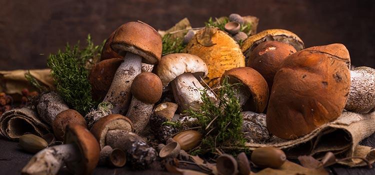 mushroom season | Ultimate Medicinal Mushrooms