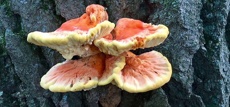 3 Tips For Choosing The Right Chicken of The Woods Recipe | ultimatemedicinalmushrooms.com
