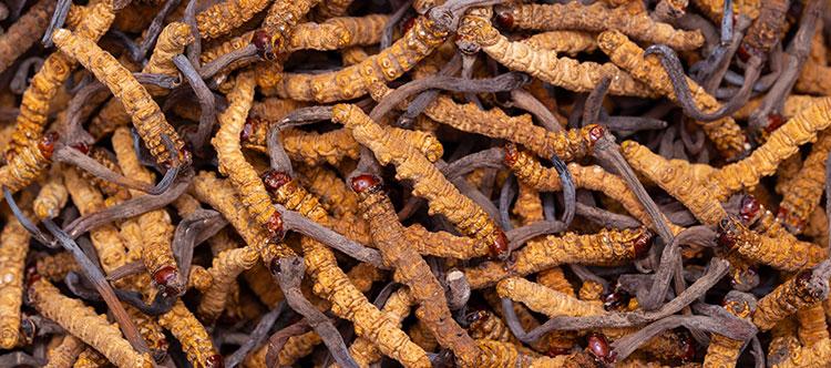 Close-up photo of dried cordyceps
