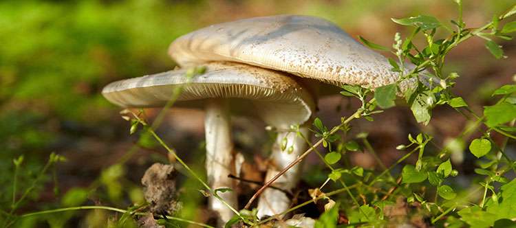 Photo of two death cap mushrooms growing from the ground