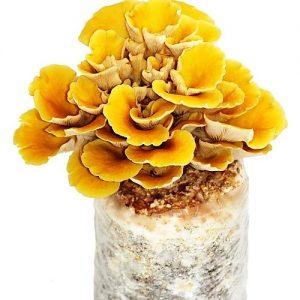 Golden oyster mushroom growing kit