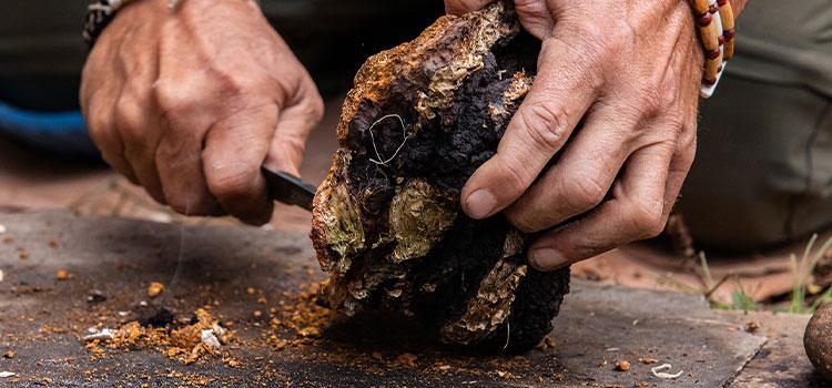 Harvesting Chaga: 7 Tips For Harvesting Chaga Mushrooms | ultimatemedicinalmushrooms.com