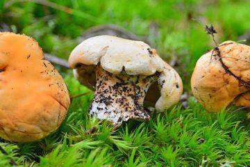 Hedgehog Mushroom: Everything There Is To Know About The Hedgehog Mushroom | ultimatemedicinalmushrooms.com