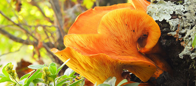 Photo of a Jack O' Lantern mushroom growing from the ground