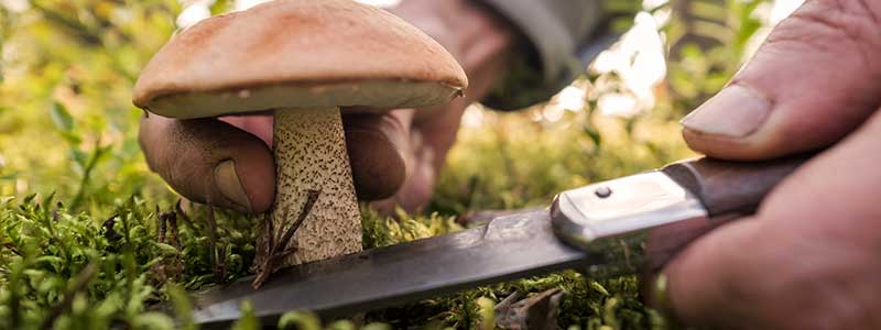 Mushroom hunter cutting a mushroom from the ground with a knife