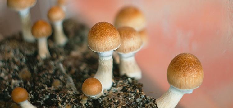 7 Facts About The Penis Envy Mushroom | ultimatemedicinalmushrooms.com