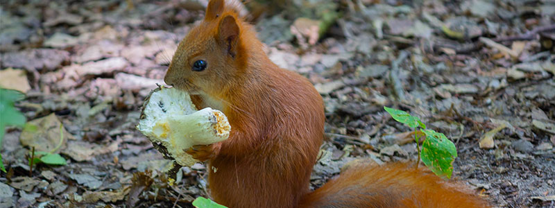 Squirrel eating a mushroom in the forest